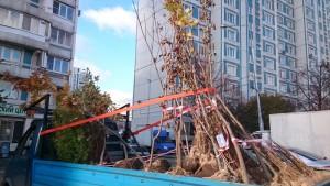 По программе Миллион деревьев в районе Чертаново Северное появилось более 600 саженцев