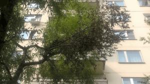 Приведенное в порядок дерево, на котором была обломана большая ветвь