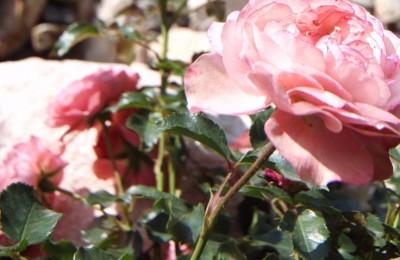 На территории «Лужников» появится сад-розарий